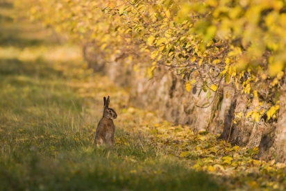 Hare in yellow leaves