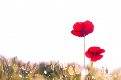 Poppies in fog