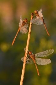 Southern dragonflies