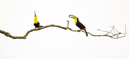 Minimalist toucans