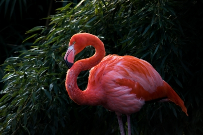 Cuban flamingo