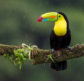 Toucan in the rain
