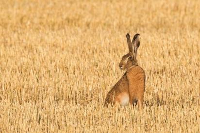 Hare on stubble