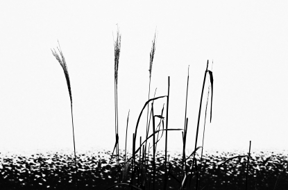 An image of stalks in high contrast