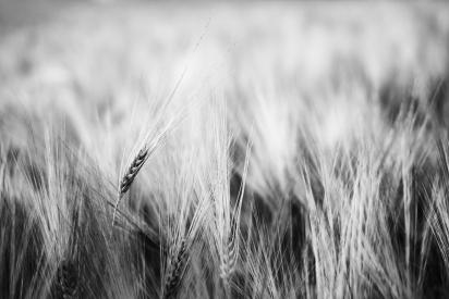 Ear in the field