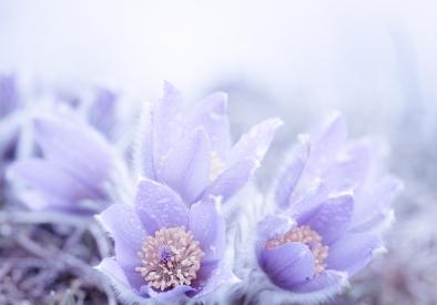 Violet breeze 2