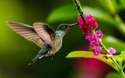 Hummingbird sucking from a flower