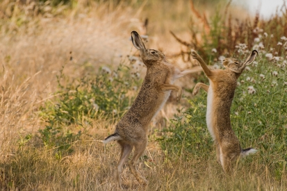 Two hares are fighting
