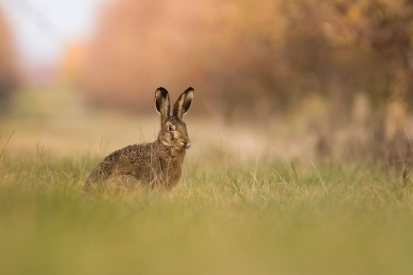 European hare in the meadow