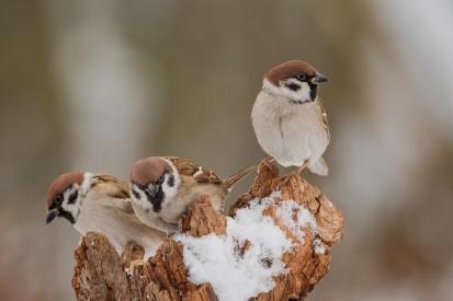 Three sparrows in winter
