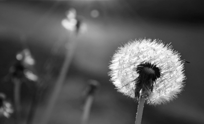 Dandelion in black