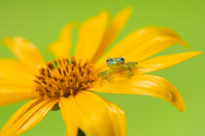 Yellow-legged tree frog