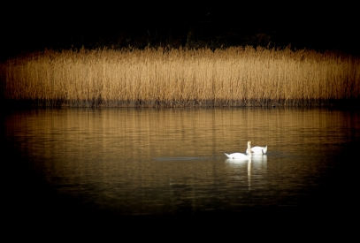 A pair of swans on a pond with reeds
