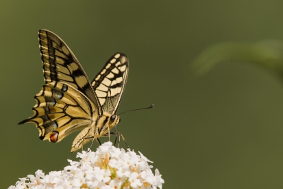 Scarce Swallowtail on a flower