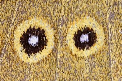 hawk, wing detail