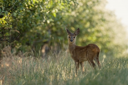 Roe deer in the forest on a pasture