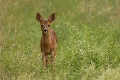 Roe deer in the grass