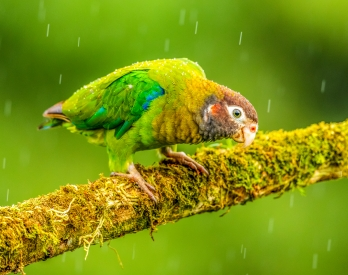 Curious parrot in the rain