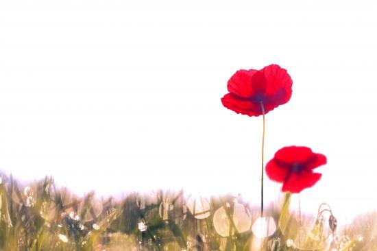 Poppies in fog