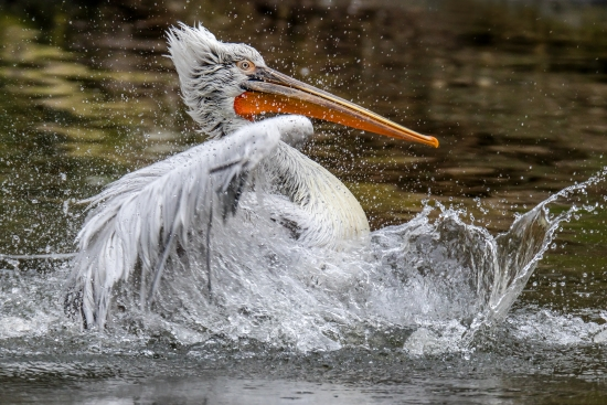 Curly pelican