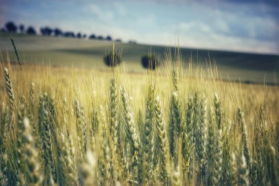 Golden grain