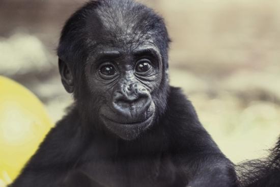 Lowland gorilla cub