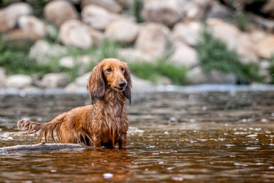 Dachshund in the water