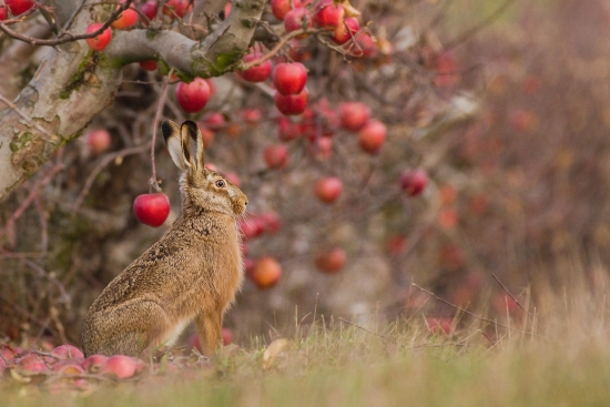 European hare under an apple tree