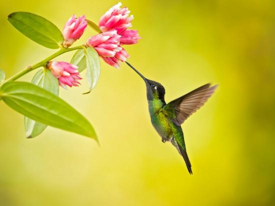 Hummingbird Talamanca