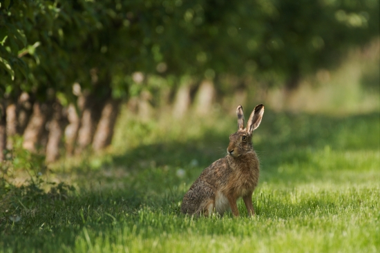 Field hare