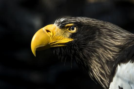 Eastern eagle