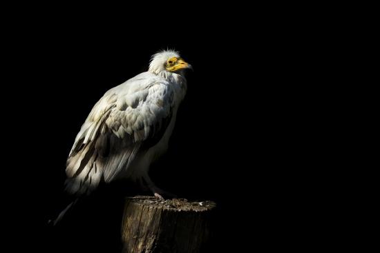 Vulture carnivorous