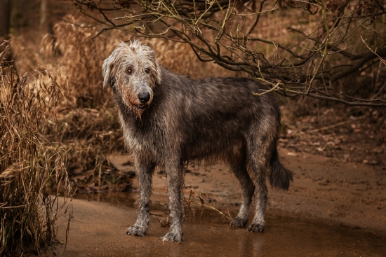 Irish Wolfhound under branches