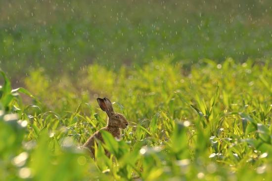 Hare in the rain