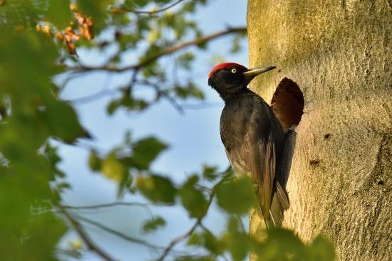 Woodpecker black