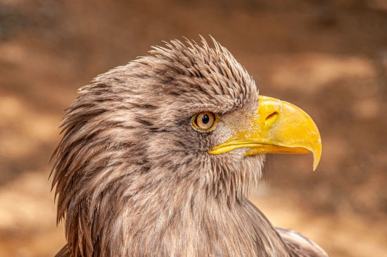 Portrait of a sea eagle