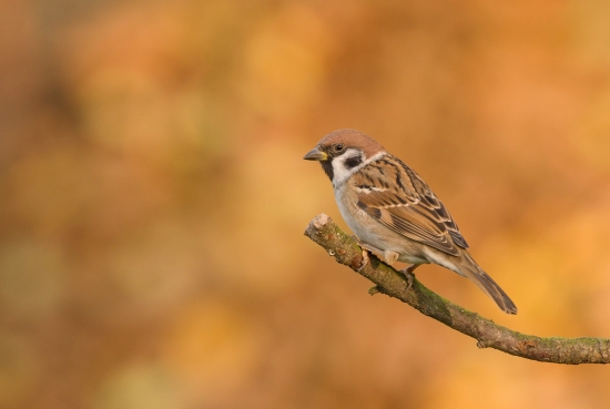 Sparrow in autumn colors
