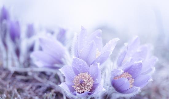 Violet breeze