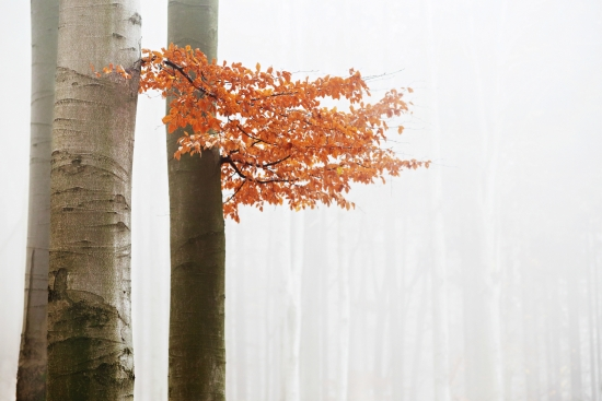 Beech in autumn fog