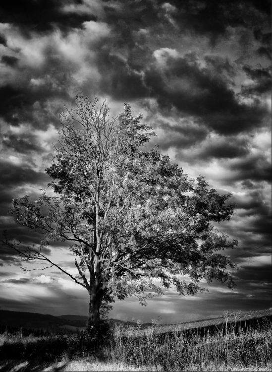 Dominant tree in countryside with stormy sky